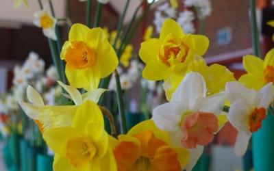 Daffodils0317